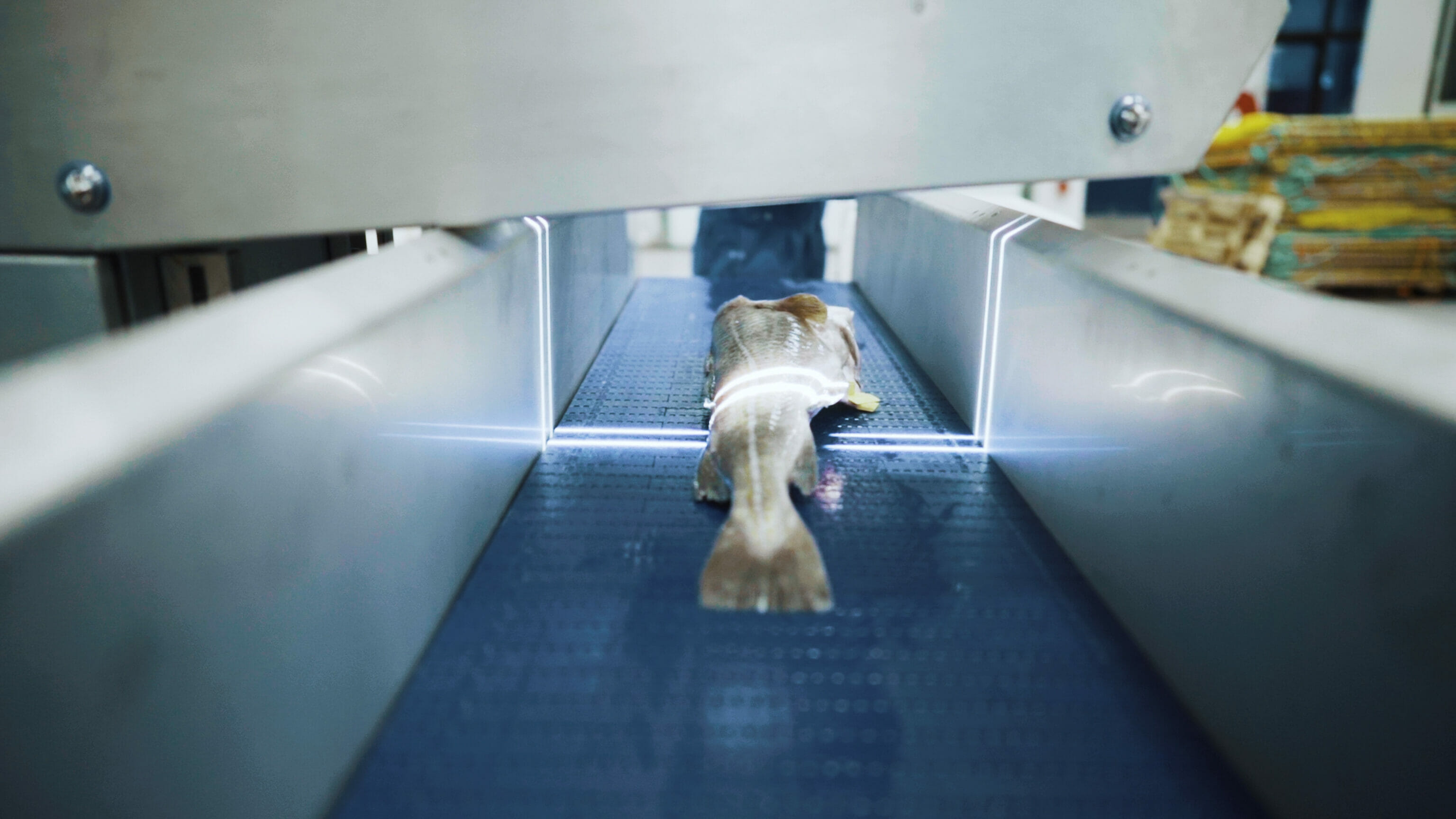 Maritech Eye - Quality scanning and species recognition of cod, salmon and other white and red fish in industrial speed.